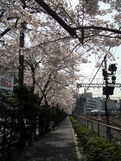 sakura-ueno1.jpg