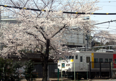 sakura-ueno2.jpg